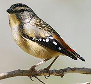 180px-Pardalotus_punctatus